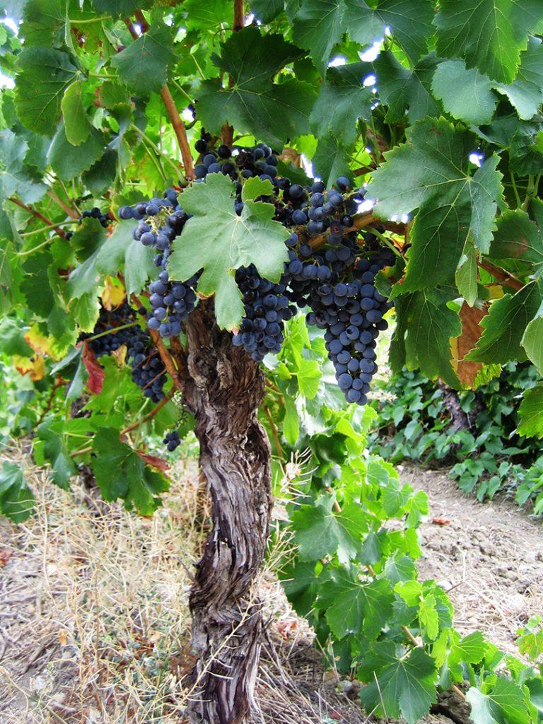 Rijpe grenache-druiven, klaar om geplukt te worden