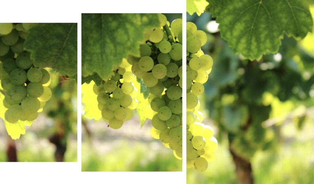Chardonnay-druiven